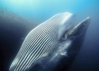 ニタリクジラ