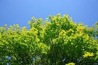 もみじの新緑と青空