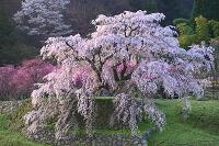 奈良県 朝日に染まる又兵衛桜