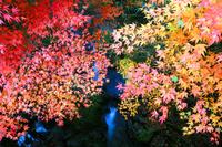 高知県 紅葉するカエデ