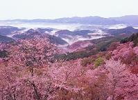 奈良県・吉野町 吉野山・サクラ