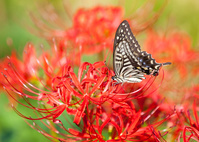 揚羽蝶と彼岸花