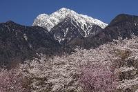 山梨県 甲斐駒ケ岳と桜