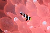 ピンクのイソギンチャクに共生するクマノミの幼魚