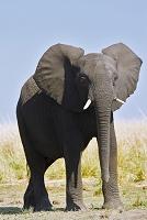 ボツワナ チョベ国立公園 アフリカゾウ