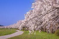 岩手県 北上展勝地の桜並木