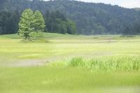 福島県 尾瀬 尾瀬沼ビジターセンター付近より湿原と三本カラマツ
