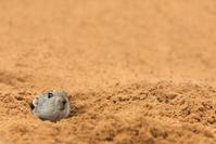穴から顔を出すネズミ