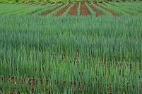 千葉県 ナガネギ畑
