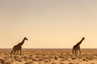 ナミビア エトーシャ国立公園 キリン