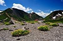 岐阜県 高山市 乗鞍岳・大黒岳に咲くミヤマキンバイと恵比須岳