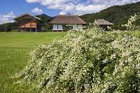 茨城県 つくば市 平沢官衙遺跡 シロハギの花