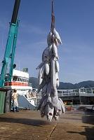 焼津港・遠洋マグロの水揚げ