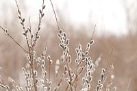 植物 ネコヤナギ