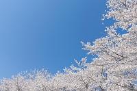 茨城県 満開の桜