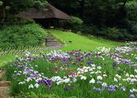 明治神宮 菖蒲園