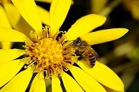 ツワブキの蜜を集めるニホンミツバチ