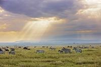 アフリカ タンザニア シマウマ