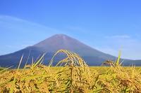 静岡県 初秋の富士山と稲田