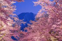 山梨県 忍野村から富士山と夜桜