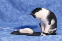 マウスを見つめる猫
