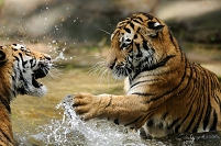 水中で喧嘩するアムールトラ2匹