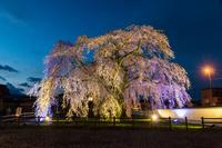 北海道 夜の法亀寺しだれ桜