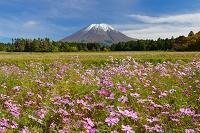 鳥取県 伯耆町 桝水高原から見たススキと新雪の大山