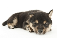 シバ 寝ている仔犬