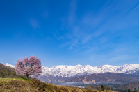 長野県 白馬連峰と野平の一本桜