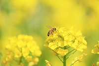 ナノハナとミツバチ 花粉を集める