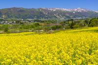 長野県 菜の花公園の菜の花