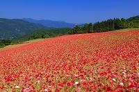 埼玉県 秩父高原牧場のポピー
