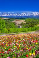 北海道 四季彩の丘 チューリップ