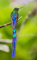 ムラサキフタオハチドリ