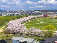 岩手県 北上展勝地の桜