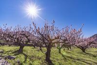 長野県 東条あんずまつりの満開のあんず畑