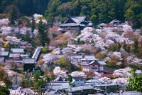 奈良県 長谷寺 しだれ桜 全景