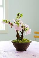 盆栽 サクラ