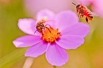 昆虫 ハチ