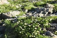 静岡県 聖岳 チングルマの花