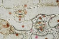 ムラサキツユクサ 葉の裏 気孔 酢酸カーミン染色 倍率200