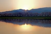 富山県 舟川の桜並木と朝日