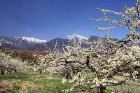 山梨県 スモモの花と甲斐駒ヶ岳
