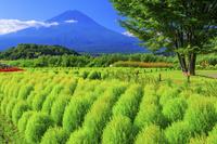 山梨県 新緑のコキアと富士山 大石公園