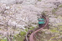 宮城県 満開の桜とスロープカー