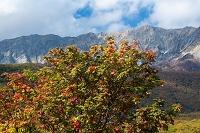 鳥取県 江府町 ナナカマドと大山南壁