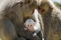 長野県  ニホンザルの白い赤ちゃん