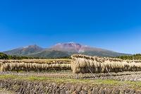 長野県 稲の稲架掛けと浅間山