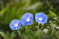 神奈川県 朝顔の花